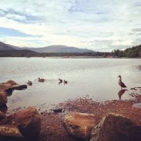 Loch Morlich Ducks
