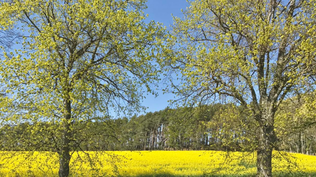 Yellow Fields 2