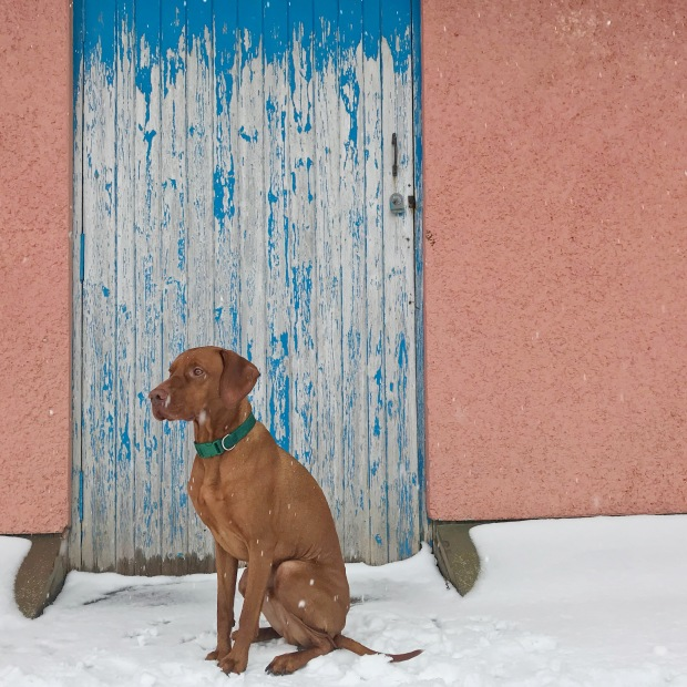 Vizsla at Snowy Door
